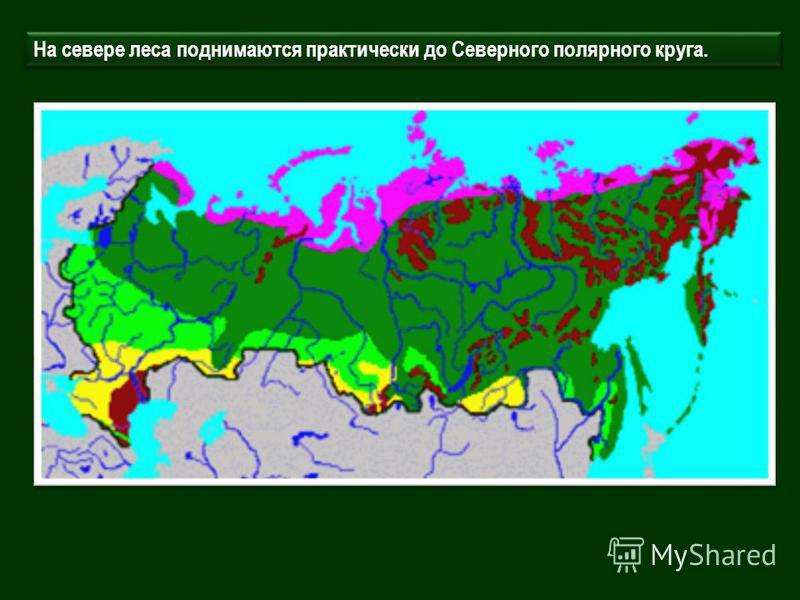 На севере леса поднимаются практически до Северного полярного круга.