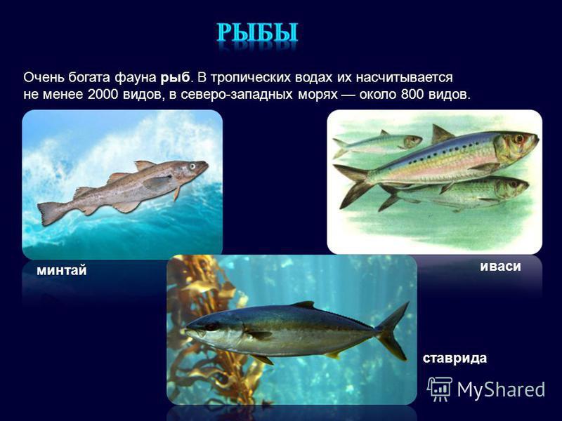 минтай иваси ставрида Очень богата фауна рыб. В тропических водах их насчитывается не менее 2000 видов, в северо-западных морях около 800 видов.