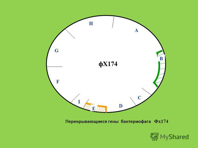 Перекрывающиеся гены бактериофага Фх 174 A B C E D I F G H фХ174