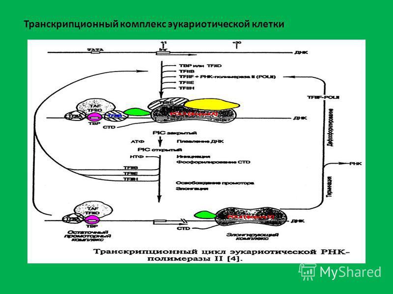 Транскрипционный комплекс эукариотической клетки