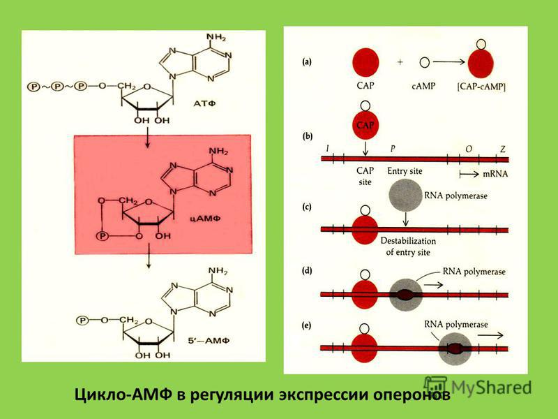 Цикло-АМФ в регуляции экспрессии оперонов