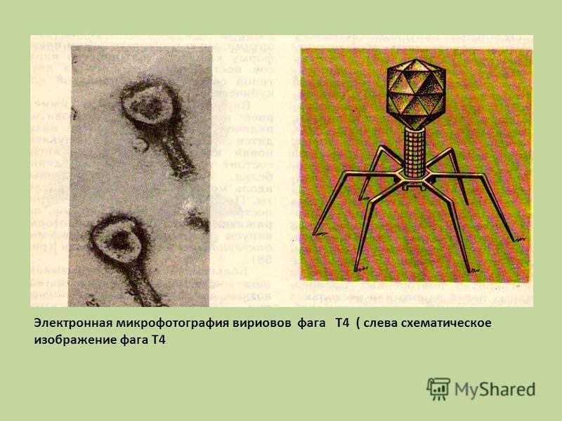 Электронная микрофотография вирионов фага Т4 ( слева схематическое изображение фага Т4