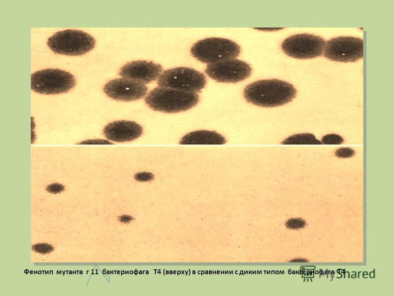 Фенотип мутанта r 11 бактериофага Т4 (вверху) в сравнении с диким типом бактериофага Т4