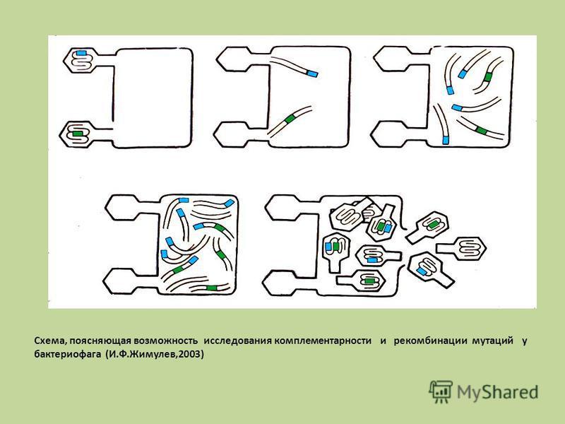 Схема, поясняющая возможность исследования комплементарности и рекомбинации мутаций у бактериофага (И.Ф.Жимулев,2003)