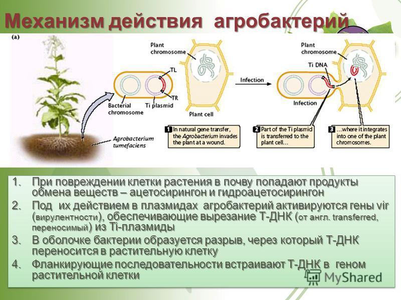 Механизм действия агробактерий 1. При повреждении клетки растения в почву попадают продукты обмена веществ – ацетосирингон и гидроацетосирингон 2. Под их действием в плазмидах агробактерий активируются гены vir ( вирулентности ), обеспечивающие вырез