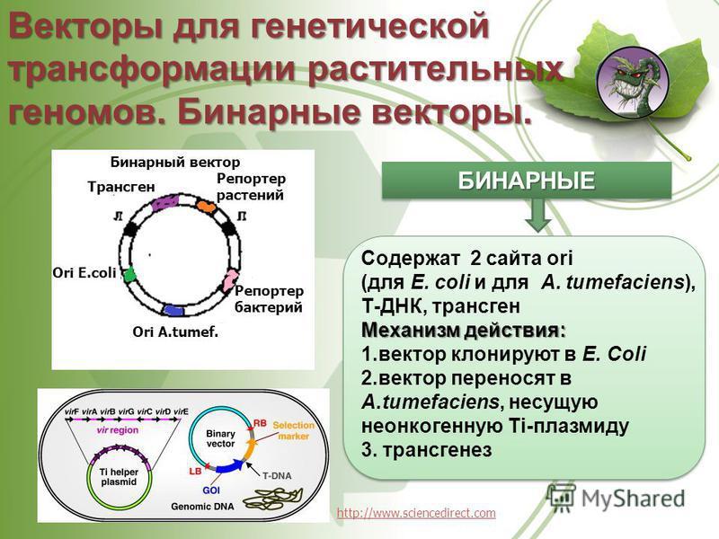 Векторы для генетической трансформации растительных геномов. Бинарные векторы. БИНАРНЫЕБИНАРНЫЕ Содержат 2 сайта оri (для Е. соli и для A. tumefaciens), Т-ДНК, трансген Механизм действия: 1. вектор клонируют в Е. Соli 2. вектор переносят в A.tumefaci