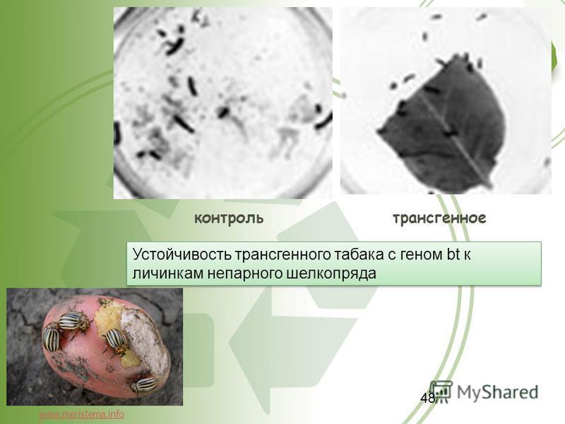 48 контроль трансгенное Устойчивость трансгенного табака с геном bt к личинкам непарного шелкопряда www.meristema.info