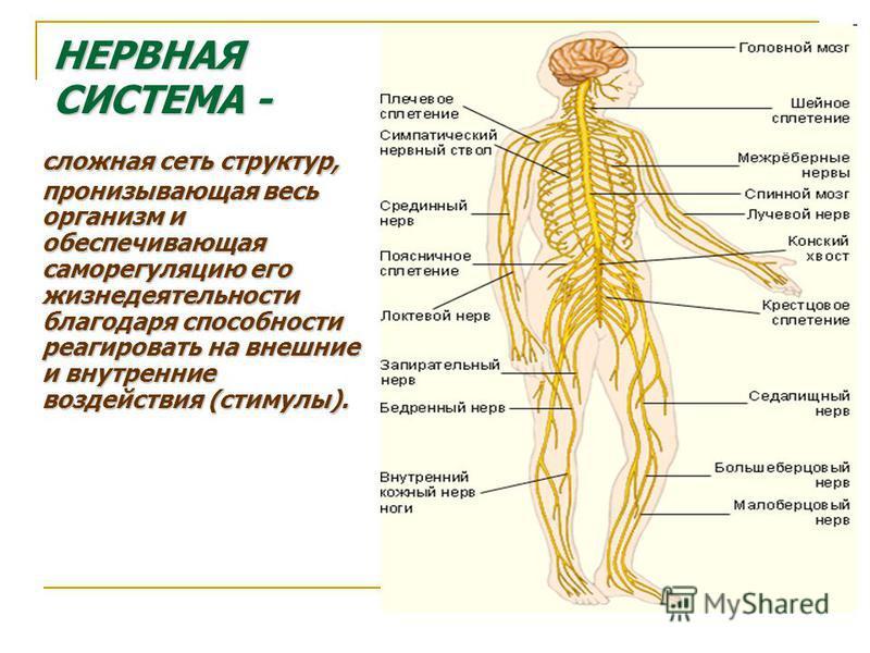 НЕРВНАЯ СИСТЕМА - сложная сеть структур, пронизывающая весь организм и обеспечивающая саморегуляцию его жизнедеятельности благодаря способности реагировать на внешние и внутренние воздействия (стимулы).