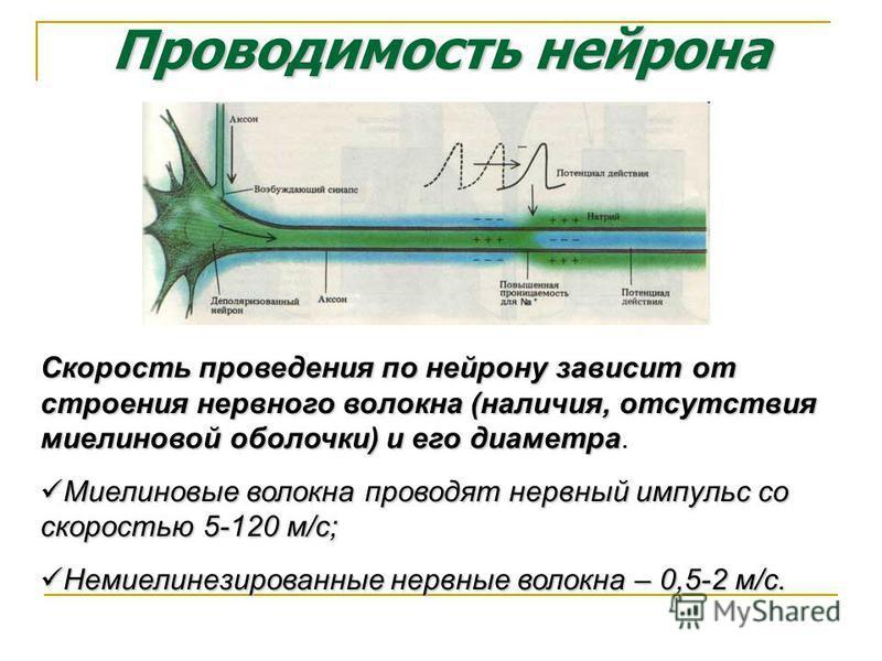 Проводимость нейрона Скорость проведения по нейрону зависит от строения нервного волокна (наличия, отсутствия миелиновой оболочки) и его диаметра Скорость проведения по нейрону зависит от строения нервного волокна (наличия, отсутствия миелиновой обол