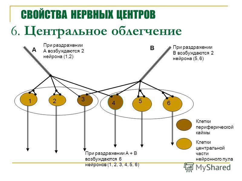 6. Центральное облегчение 12 3 4 5 6 А В При раздражении А возбуждаются 2 нейрона (1,2) При раздражении В возбуждаются 2 нейрона (5, 6) При раздражении А + В возбуждаются 6 нейронов (1, 2, 3, 4, 5, 6) Клетки периферической каймы Клетки центральной ча