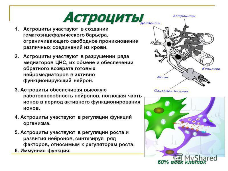 Астроциты 1. Астроциты участвуют в создании гематоэнцефалического барьера, ограничивающего свободное проникновение различных соединений из крови. 2. Астроциты участвуют в разрушении ряда медиаторов ЦНС, их обмене и обеспечении обратного возврата гото