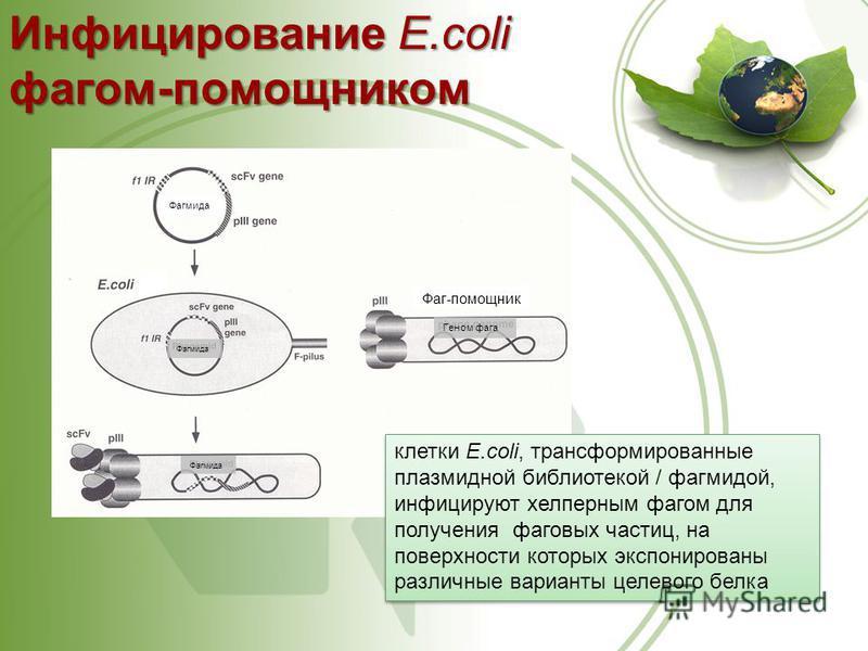 Фагмида Фаг-помощник Геном фага Инфицирование E.coli фагом-помощником клетки E.coli, трансформированные плазмидной библиотекой / фагмидой, инфицируют хелперным фагом для получения фаговых частиц, на поверхности которых экспонированы различные вариант