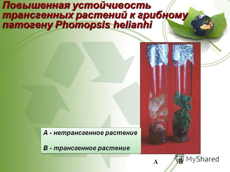 Повышенная устойчивость трансгенных растенийк грибному патогену Phomopsis helianhi Повышенная устойчивость трансгенных растений к грибному патогену Phomopsis helianhi А B А - нетрансгенное растение В - трансгенное растение А - нетрансгенное растение