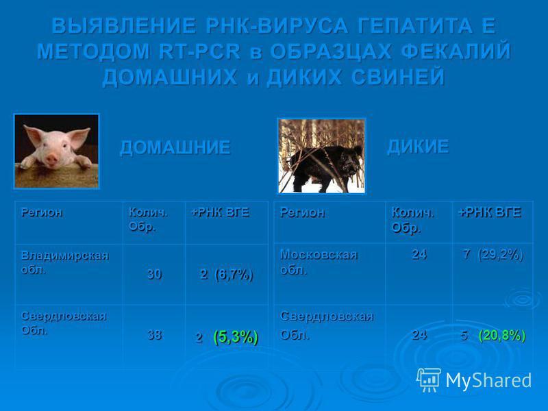 ВЫЯВЛЕНИЕ РНК-ВИРУСА ГЕПАТИТА Е МЕТОДОМ RT-PCR в ОБРАЗЦАХ ФЕКАЛИЙ ДОМАШНИХ и ДИКИХ СВИНЕЙ Регион Колич. Обр. +РНК ВГЕ Владимирская обл. 30 2 (6,7%) Свердловская Обл. 38 2 (5,3%) Регион Колич. Обр. +РНК ВГЕ Московская обл. 24 7 (29,2%) Свердловская Об