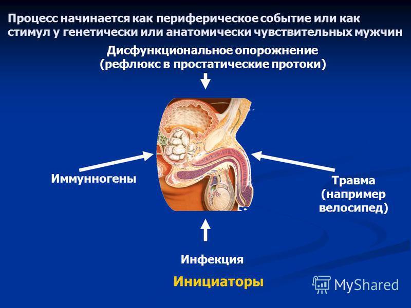 Процесс начинается как периферическое событие или как стимул у генетически или анатомически чувствительных мужчин Дисфункциональное опорожнение (рефлюкс в простатические протоки) Инициаторы Травма (например велосипед) Иммунногены Инфекция