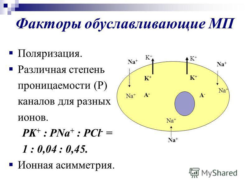 Факторы обуславливающие МП Na + K+K+ K+K+ A-A- A-A- K+K+ K+K+ Поляризация. Различная степень проницаемости (Р) каналов для разных ионов. PK + : PNa + : PCl - = 1 : 0,04 : 0,45. Ионная асимметрия.