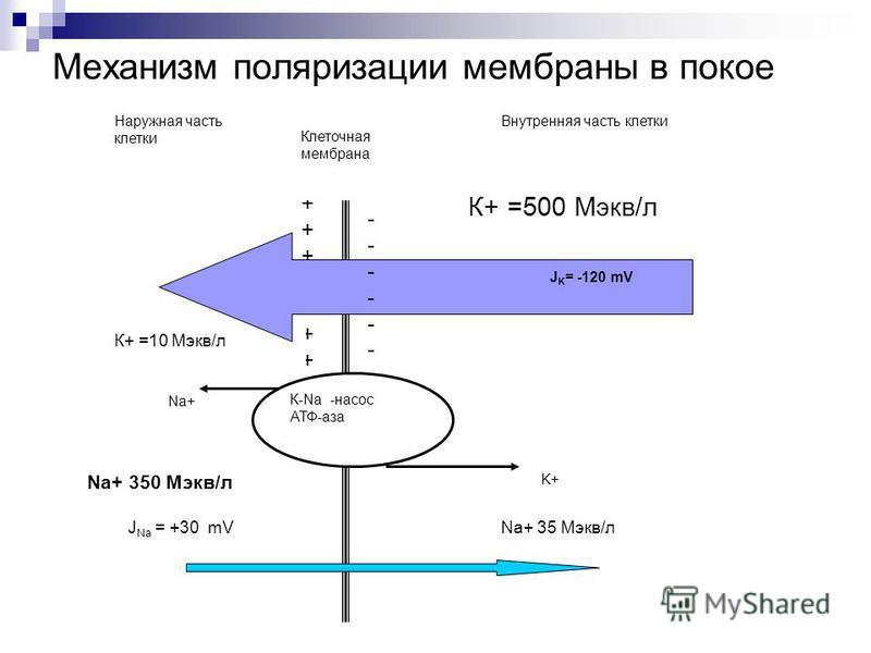 Механизм поляризации мембраны в покое К+ =500 Мэкв/л ++++++++++++++++++++ Наружная часть клетки Внутренняя часть клетки Клеточная мембрана К+ =10 Мэкв/л Na+ 350 Мэкв/л Na+ 35 Мэкв/л -------------------- J K = -120 mV J Na = +30 mV К-Na -насос АТФ-аза