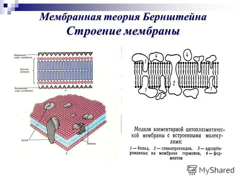 Мембранная теория Бернштейна Строениемембраны Мембранная теория Бернштейна Строение мембраны