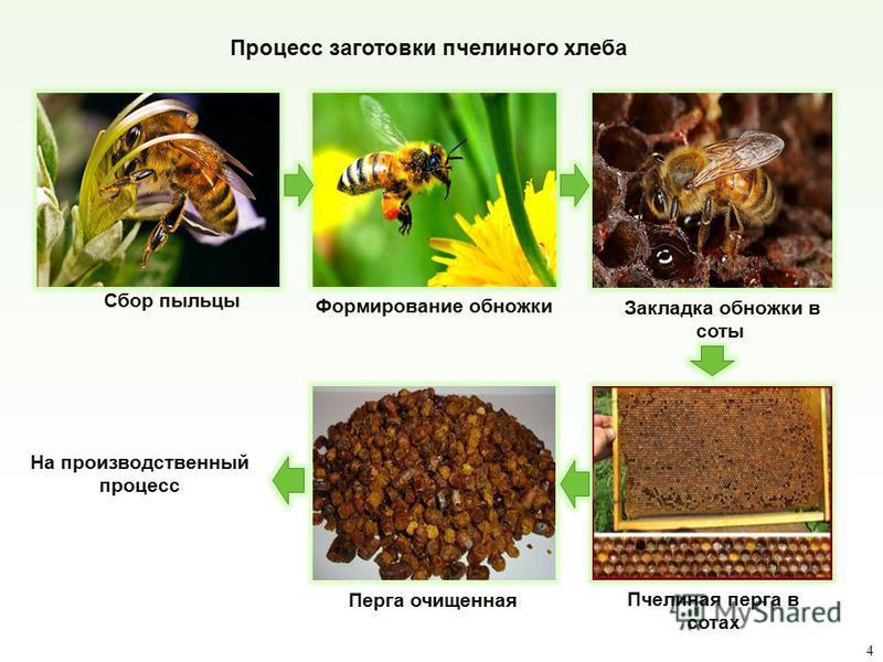 Процесс заготовки пчелиного хлеба Закладка обножки в соты Формирование обножки Сбор пыльцы Пчелиная перга в сотах Перга очищенная На производственный процесс 4