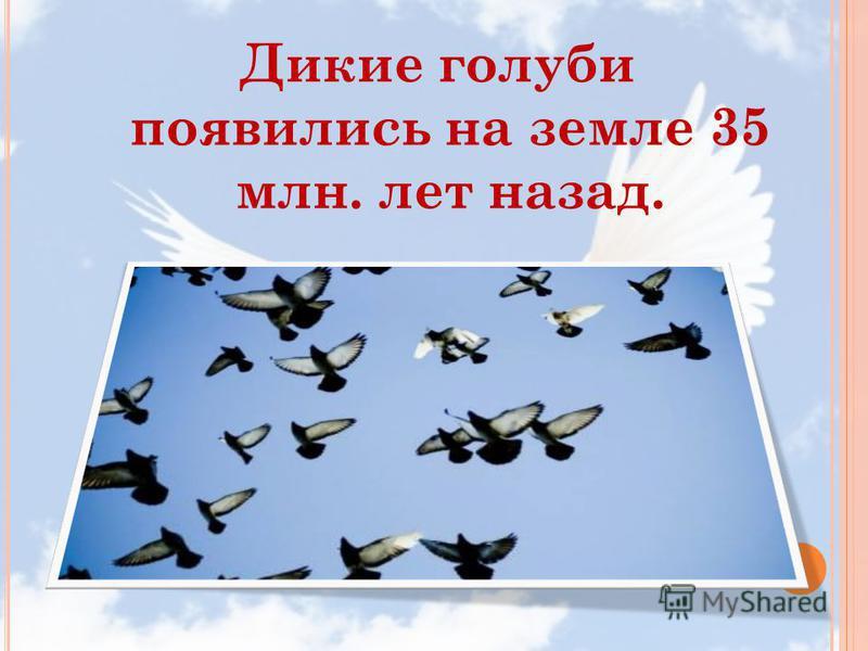 Дикие голуби появились на земле 35 млн. лет назад.