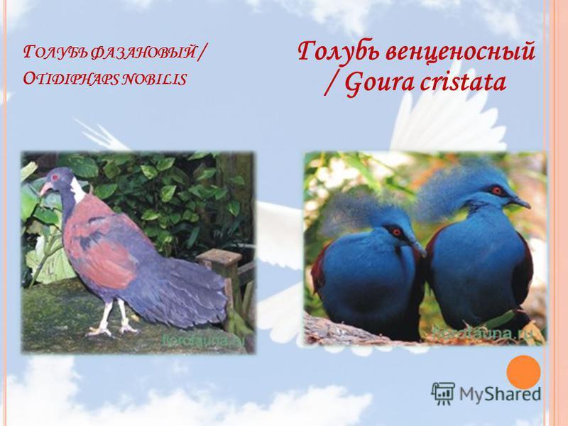 Г ОЛУБЬ ФАЗАНОВЫЙ / O TIDIPHAPS NOBILIS Голубь венценосный / Goura cristata