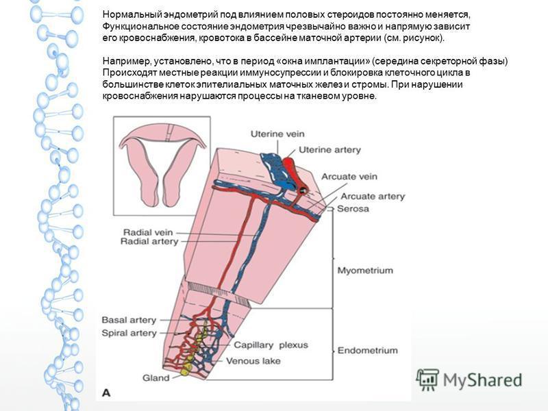 Нормальный эндометрий под влиянием половых стероидов постоянно меняется, Функциональное состояние эндометрия чрезвычайно важно и напрямую зависит его кровоснабжения, кровотока в бассейне маточной артерии (см. рисунок). Например, установлено, что в пе