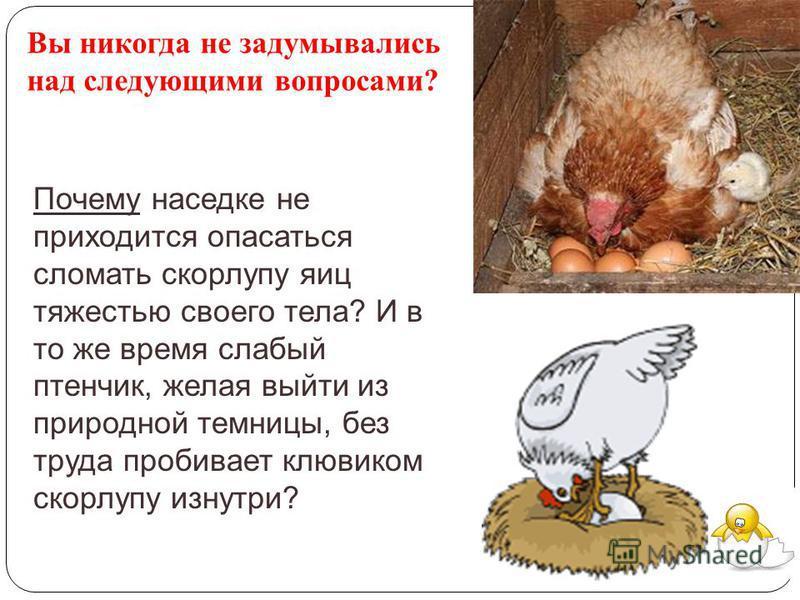 Почему наседке не приходится опасаться сломать скорлупу яиц тяжестью своего тела? И в то же время слабый птенчик, желая выйти из природной темницы, без труда пробивает клювиком скорлупу изнутри? Вы никогда не задумывались над следующими вопросами?
