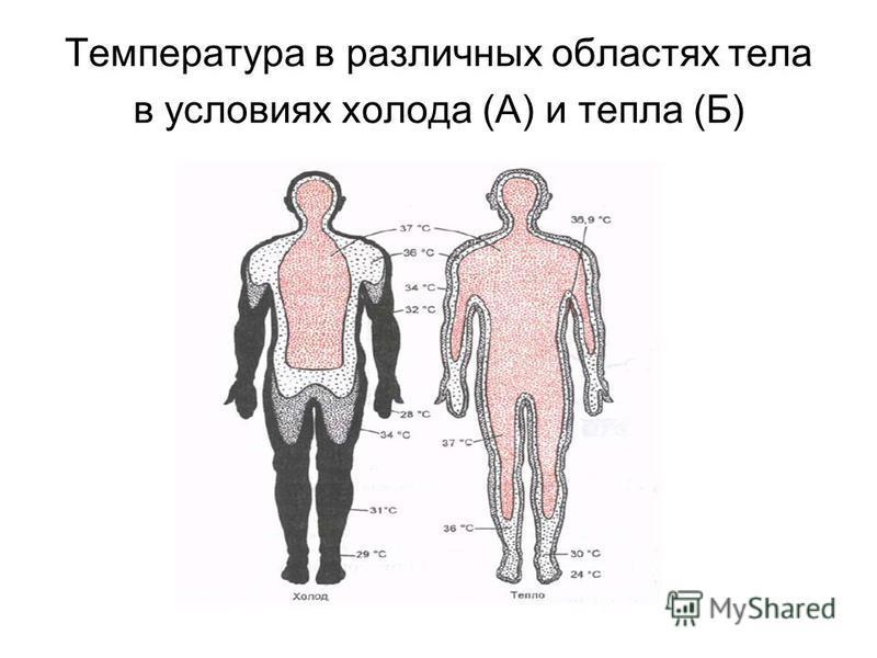 Температура в различных областях тела в условиях холода (А) и тепла (Б)