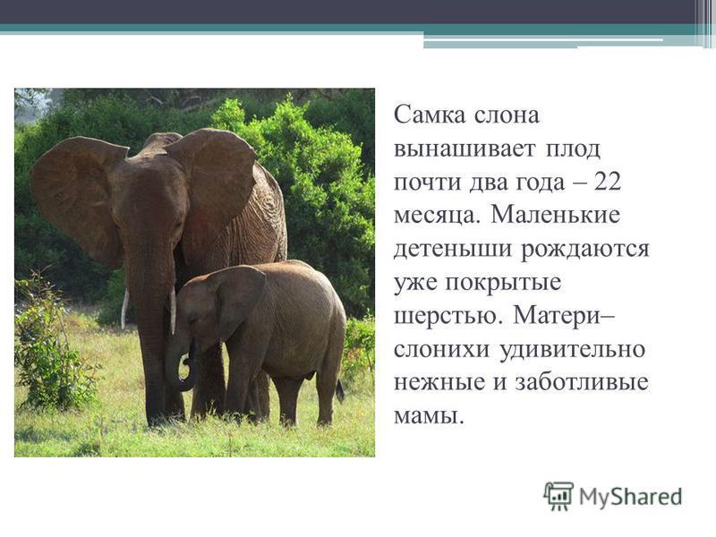 Самка слона вынашивает плод почти два года – 22 месяца. Маленькие детеныши рождаются уже покрытые шерстью. Матери– слонихи удивительно нежные и заботливые мамы.