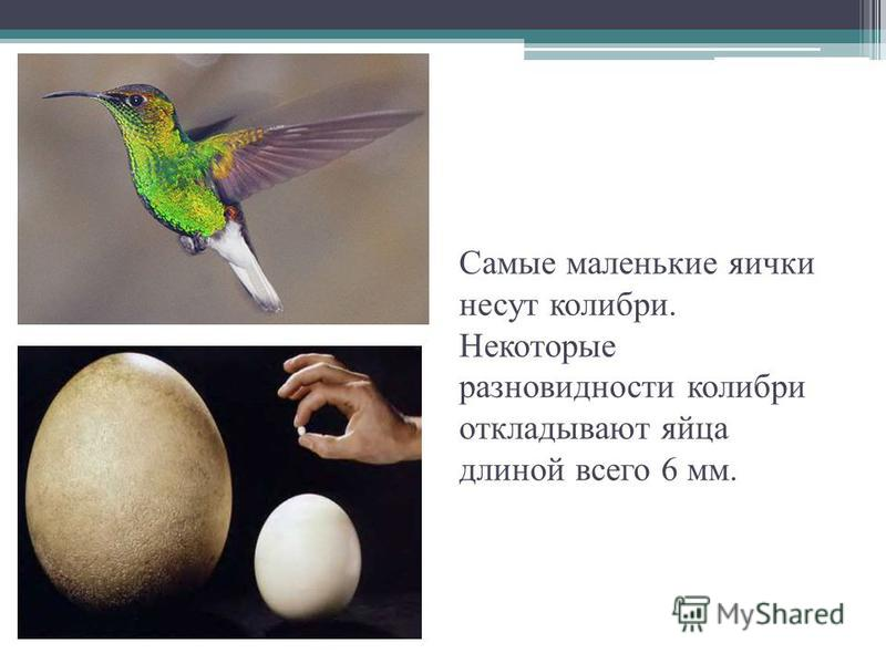 Самые маленькие яички несут колибри. Некоторые разновидности колибри откладывают яйца длиной всего 6 мм.
