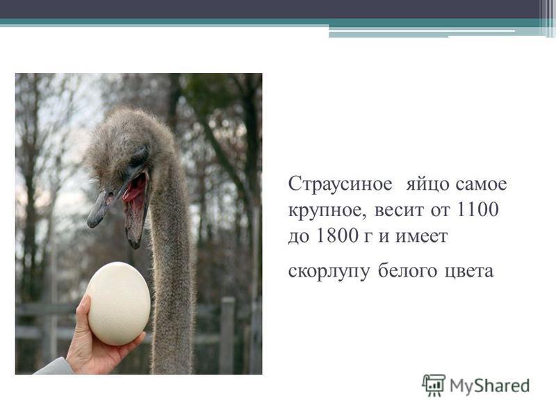 Страусиное яйцо самое крупное, весит от 1100 до 1800 г и имеет скорлупу белого цвета