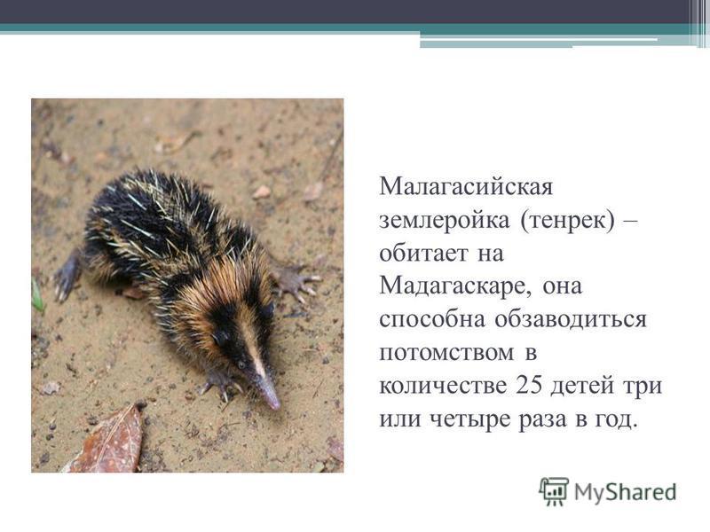 Малагасийская землеройка (тенрек) – обитает на Мадагаскаре, она способна обзаводиться потомством в количестве 25 детей три или четыре раза в год.