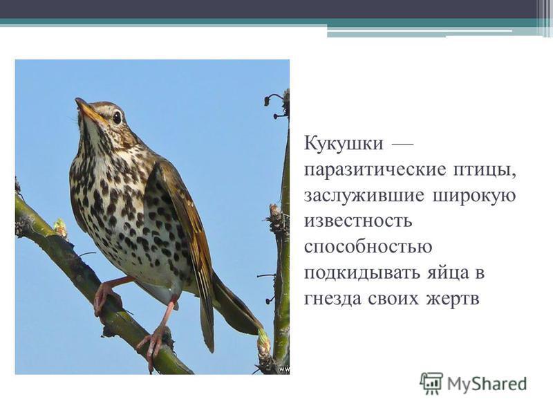 Кукушки паразитические птицы, заслужившие широкую известность способностью подкидывать яйца в гнезда своих жертв