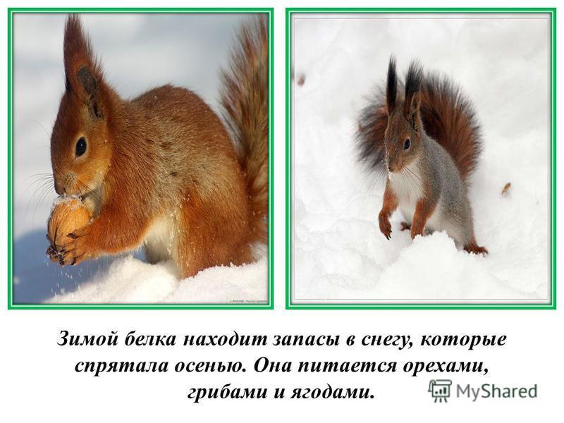 Зимой белка находит запасы в снегу, которые спрятала осенью. Она питается орехами, грибами и ягодами.
