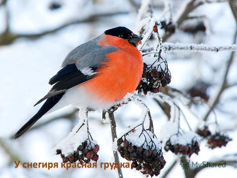 У снегиря красная грудка -