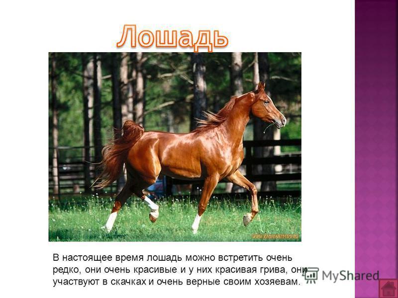 В настоящее время лошадь можно встретить очень редко, они очень красивые и у них красивая грива, они участвуют в скачках и очень верные своим хозяевам.