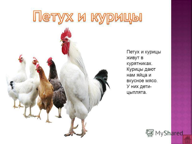 Петух и курицы живут в курятниках. Курицы дают нам яйца и вкусное мясо. У них дети- цыплята.
