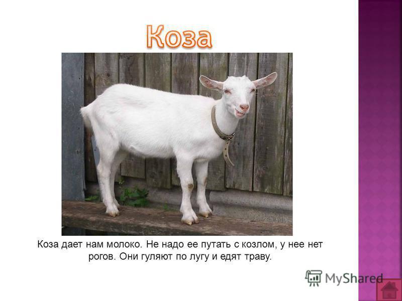 Коза дает нам молоко. Не надо ее путать с козлом, у нее нет рогов. Они гуляют по лугу и едят траву.