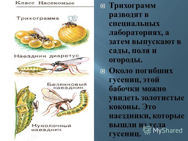 Трихограмм разводят в специальных лабораториях, а затем выпускают в сады, п оля и огороды. Около погибших гусениц, э той бабочки можно увидеть золотистые коконы. Э то наездники, которые вышли и з т ела гусениц.