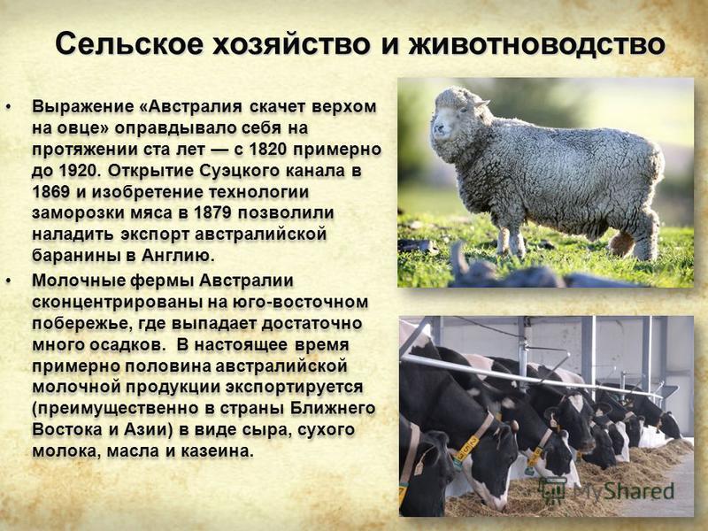 Сельское хозяйство и животноводство Выражение «Австралия скачет верхом на овце» оправдывало себя на протяжении ста лет с 1820 примерно до 1920. Открытие Суэцкого канала в 1869 и изобретение технологии заморозки мяса в 1879 позволили наладить экспорт