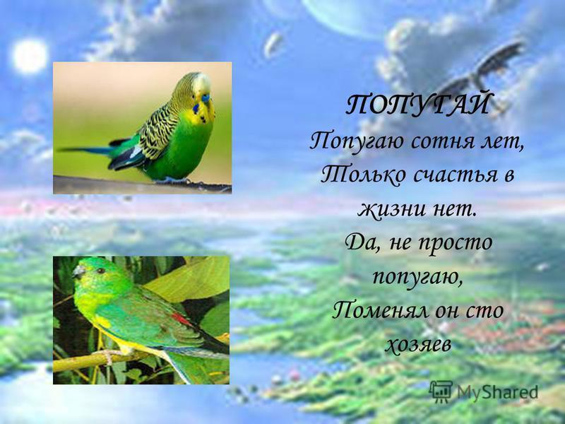 ПОПУГАЙ Попугаю сотня лет, Только счастья в жизни нет. Да, не просто попугаю, Поменял он сто хозяев