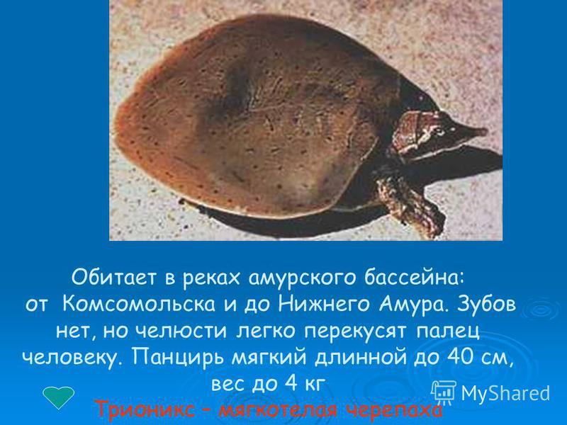Обитает в реках амурского бассейна: от Комсомольска и до Нижнего Амура. Зубов нет, но челюсти легко перекусят палец человеку. Панцирь мягкий длинной до 40 см, вес до 4 кг Трионикс – мягкотелая черепаха