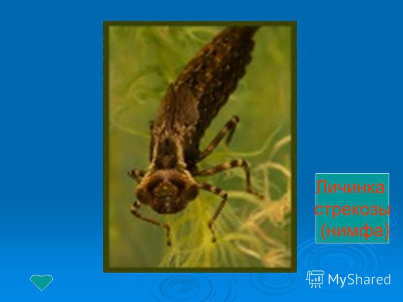 Личинка стрекозы (нимфа)