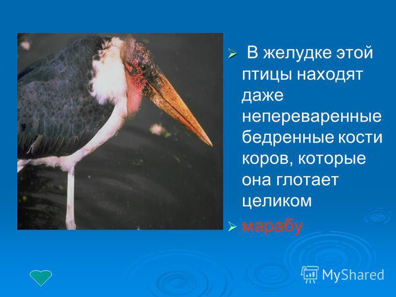 В желудке этой птицы находят даже непереваренные бедренные кости коров, которые она глотает целиком марабу