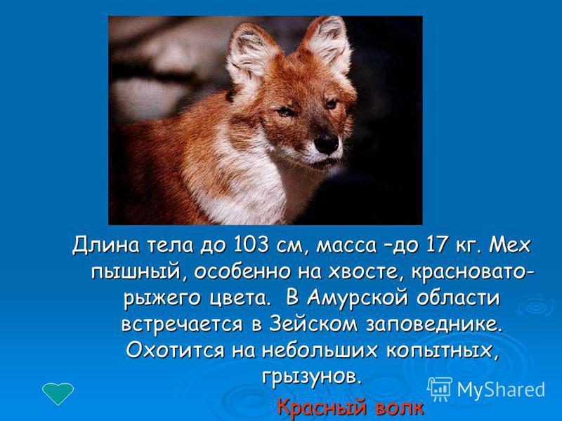 Длина тела до 103 см, масса –до 17 кг. Мех пышный, особенно на хвосте, красновато- рыжего цвета. В Амурской области встречается в Зейском заповеднике. Охотится на небольших копытных, грызунов. Красный волк Красный волк