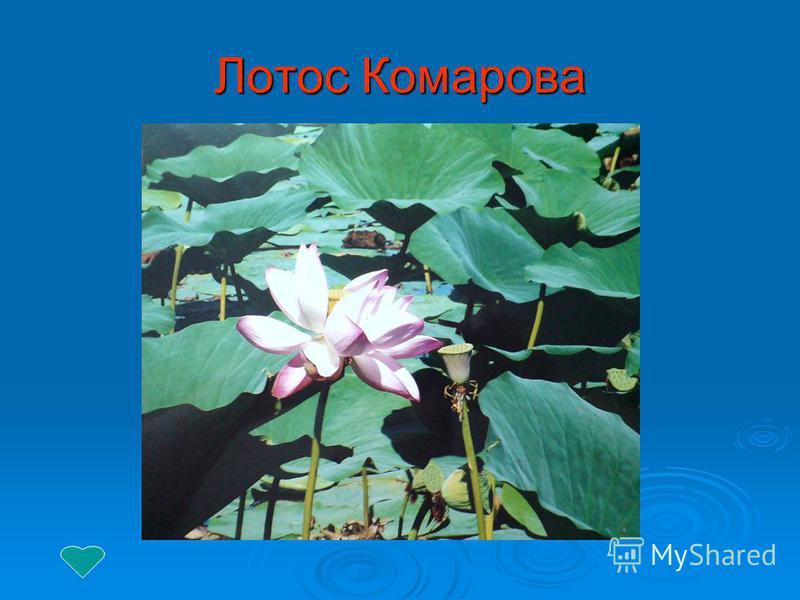 Лотос Комарова