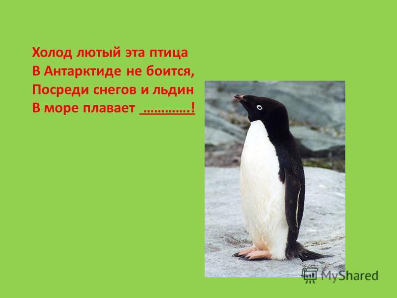Холод лютый эта птица В Антарктиде не боится, Посреди снегов и льдин В море плавает ………….!