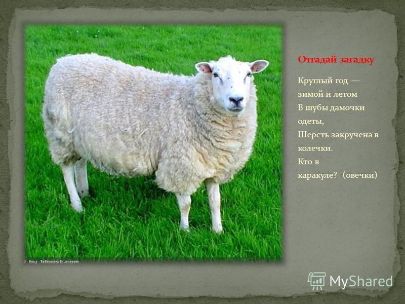 Круглый год зимой и летом В шубы дамочки одеты, Шерсть закручена в колечки. Кто в каракуле? (овечки)