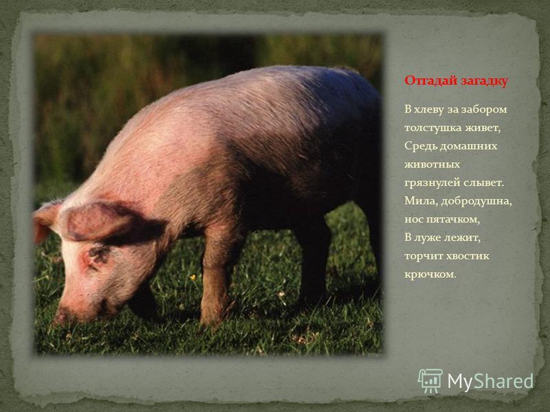 В хлеву за забором толстушка живет, Средь домашних животных грязнулей слывет. Мила, добродушна, нос пятачком, В луже лежит, торчит хвостик крючком.