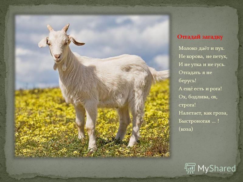 Молоко даёт и пух. Не корова, не петух, И не утка и не гусь. Отгадать я не берусь! А ещё есть и рога! Ох, бодлива, ох, строга! Налетает, как гроза, Быстроногая... ! (коза)
